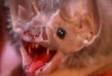 Cận cảnh loài dơi quỷ hút máu đáng sợ ở Peru
