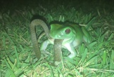 Rắn thoát chết ngoạn mục khi bị ếch cây nuột chửng vào bụng