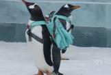 Giữa băng tuyết thơ mộng, chim cánh cụt đeo ba lô nổi như cồn