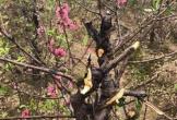 Xem Việt Nam đá Yemen, 11 gia đình bật khóc vì kẻ ác chặt phá 147 cây đào bán tết