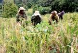 Tây Nguyên vào mùa 'ngất ngây' hương lúa rẫy