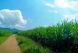 Công ty Cổ phần Mía đường Nông Cống (Thanh Hoá): Cấn trừ nợ tiền mía nguyên liệu trái quy định