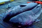 Cá mập thối - món vừa ăn vừa bịt mũi
