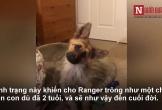Video: Chú chó béc giê Đức