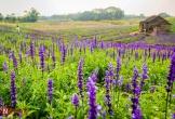 Nao lòng cánh đồng hoa xôn xanh cả hecta giữa lòng thủ đô