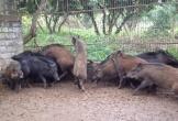 Cách chọn thịt lợn rừng đúng chuẩn cho người sành ăn