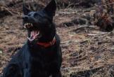 Kinh hoàng chó becgie xổng chuồng cắn chết bé gái 9 tuổi trên đường đến trường