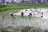 Thanh Hóa đã gieo cấy 83% diện tích