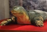 Cận cảnh tiêu bản rùa hồ Gươm sau 2 năm phục chế