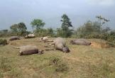 Một đàn trâu bị sét đánh chết trên đồi