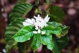 Mùa hoa cà phê nở trắng một góc trời Gia Lai