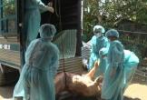 Cả hệ thống chính trị vào cuộc phòng, chống dịch tả lợn châu Phi 