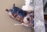 """Chỗ lợn nổi lềnh phềnh ở sông, chỗ xã """"nghe nhầm"""" cấm dân bán thịt lợn vì dịch"""