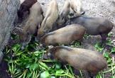 Lợn không được ăn rau chuối, bèo tây, cản trở dân phải bỏ đi