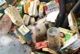 Xác lợn nổi lềnh bềnh trên kênh nước thô cấp cho nhà máy nước sạch Thanh Hóa