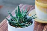 5 loại cây thanh lọc không khí nên đặt trong nhà