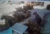 Chi tiết phương thức hoạt động của băng nhóm trộm chó quy mô lớn ở Thanh Hóa