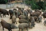 Trang trại lợn rừng sạch ở Nghệ An: Địa chỉ đỏ tin cậy cho mọi gia đình đón Tết