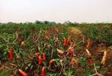 Quảng Ngãi: Giá ớt xuống còn 8.000 đồng/kg, nông dân không buồn thu hoạch