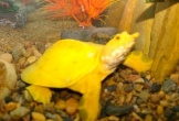 Bắt được con vật giống ba ba có màu vàng óng kỳ lạ