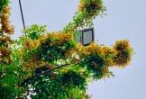 Đẹp nao lòng những chùm giáng hương vàng rực ở thành Vinh