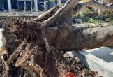 1 cây phượng trong sân trường ở Tây Nguyên bị bật gốc
