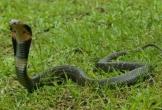 Clip: Trúng nọc độc của rắn hổ mang phun, sư tử gầm thét bỏ chạy