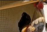 Clip: Gáy quá dài, gà trống