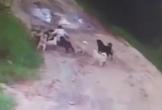 12 con chó hoang tấn công, cắn chết người đàn ông say rượu