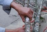 """Những cành đào """"dán tem"""" đầu tiên ở Thanh Hóa"""