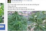 Rao bán công khai giống cây thuốc phiện