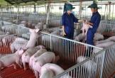 Xuân Thiện chi tiếp 2.500 tỷ làm dự án nuôi lợn ở Thanh Hóa
